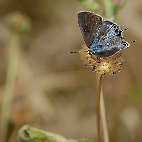 Iridescent blue-gray upper wings of darting Mallow Scrub-Hairstreak by jungle mama