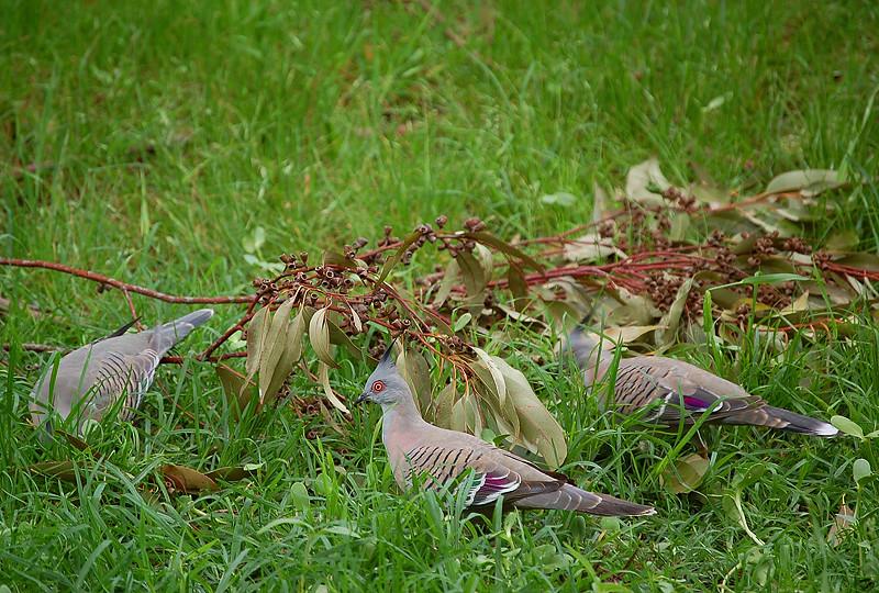 _pigeons_1_