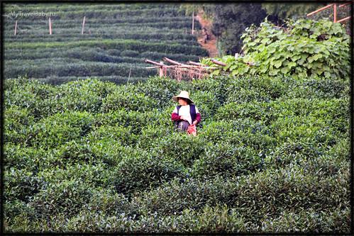 han-tea026