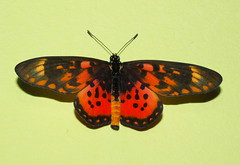 Acraea zetes Butterfly