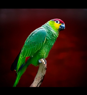Ecuadorian Red-Lored Amazon Parrot on a textured background