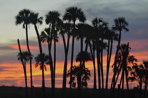 trees sunset nature palm marsh