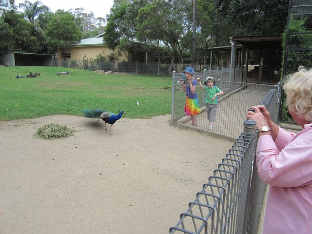 Featherdale -kids looking at peacock