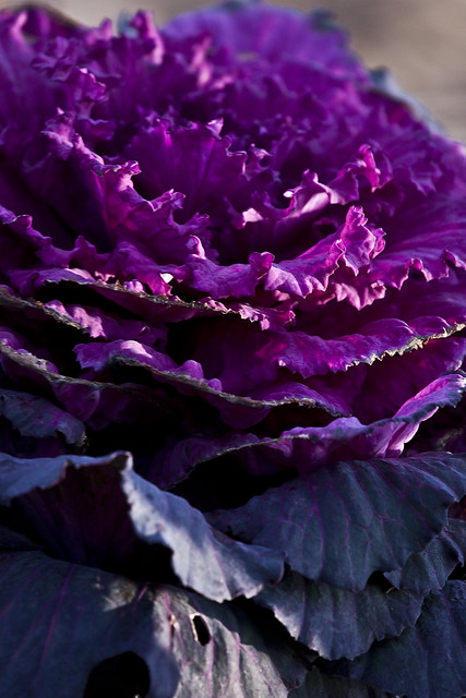decorativecabbage