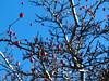 bacche rosse e cielo