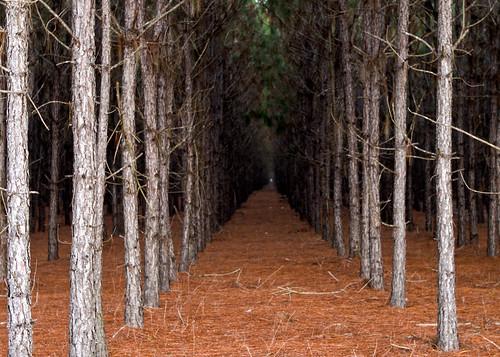 trees dark lafayette pines rows mayofl jan12springstrip