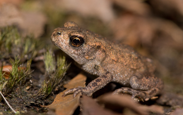 common toadlet 3