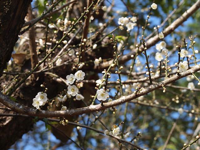 盛開的梅花