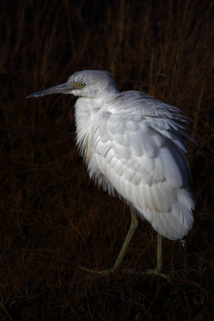 Little Blue Heron Young