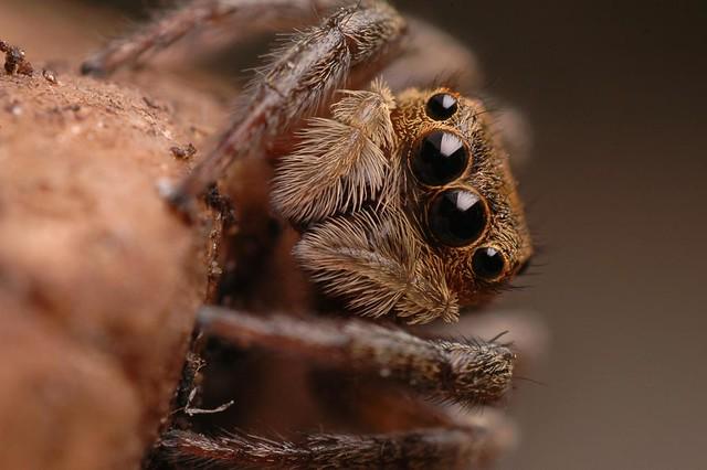 Araña saltadora I