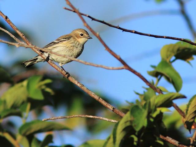 Yellow-rumped Warbler 20120118