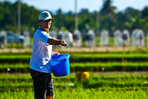 Achim Dobermann applies fertilizer to the plot
