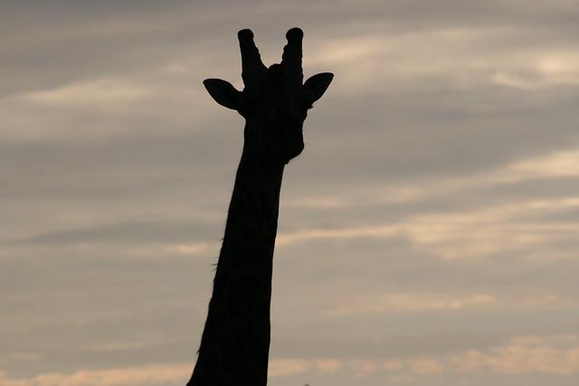 Giraffe Silhouette Giraffe Silhouette Flickr