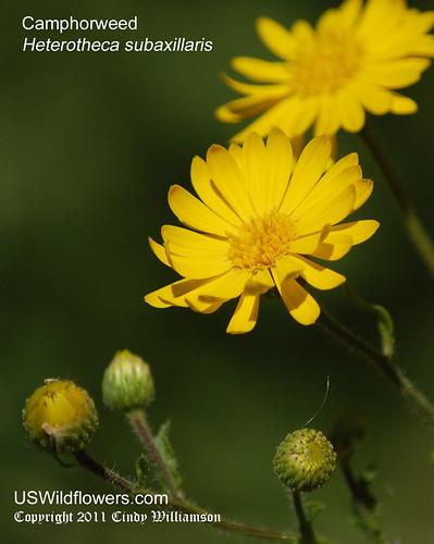 Camphorweed, Camphor Weed, False Goldenaster - Heterotheca subaxillaris