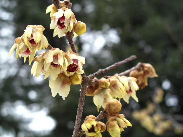 Fragrant wintersweet trees, now in full bloom. Photo by Ashley Gamell.