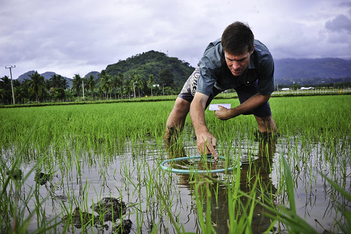 Leigh Vial counts rice plants in the field.
