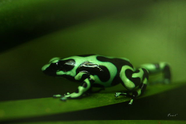 which is the my Prince:) - a gallery on Flickr Are Green Frogs Poisonous