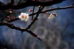 Huidong plum 惠東 梅花 2012