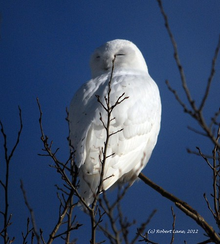 Sleepy-time Snowy Owl