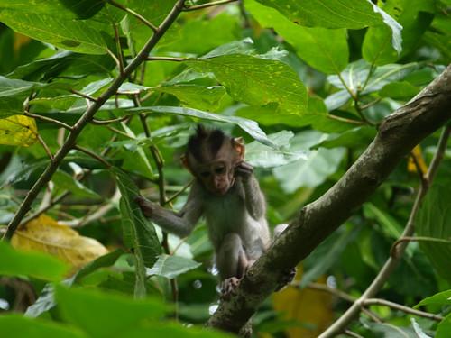 бали, обезьяны10