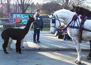 Alpacas meet horses