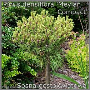 Pinus densiflora 'Meylan Compact' - Sosna gęstokwiatowa