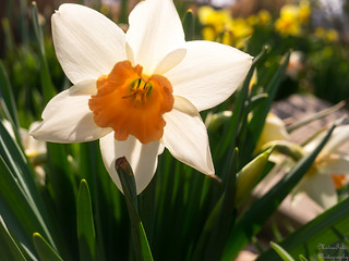 Narcissus with sunshine