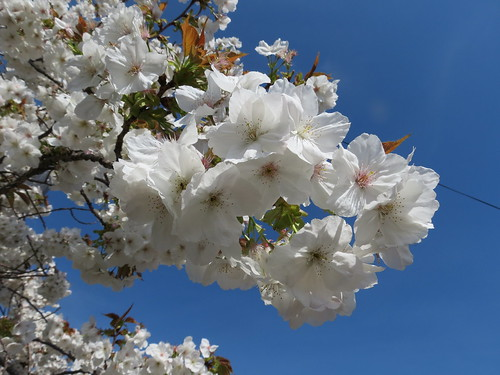 Cherry blossom in Chichester