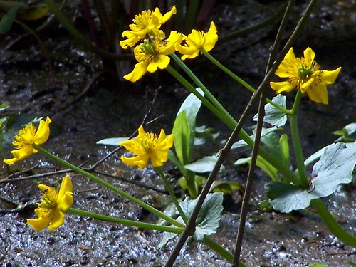Marsh Marigolds Caltha palustris