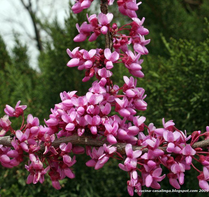 Springdale lila Baum nah