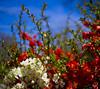 flowering bush-012