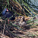 Purple Swamphen, Red-crested Pochard and Mallard (John Crispin)