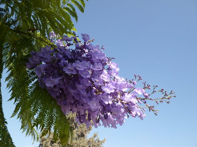 6430923141 ea0722ac20 z jpgJacaranda Mimosifolia Flowers