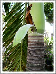 Veitchia merrillii (Manila/Christmas Palm) with a budding flower stalk for the first time