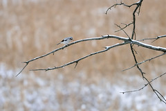 Shrike Scream DSC_0431 by Mully410 * Images
