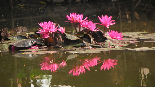 Pink Water Lily Flowers in a village Pond