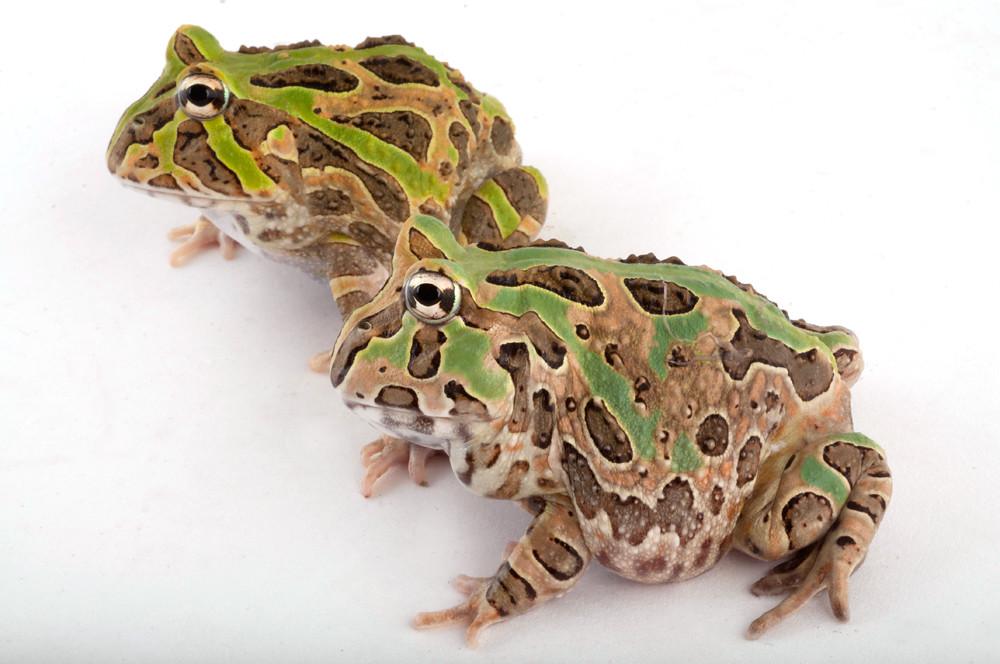 Ceratophryidae: Ceratophrys stolzmanni