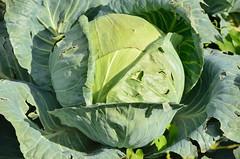 cabbage, vegetable, flower, leaf, leaf vegetable, collard greens,