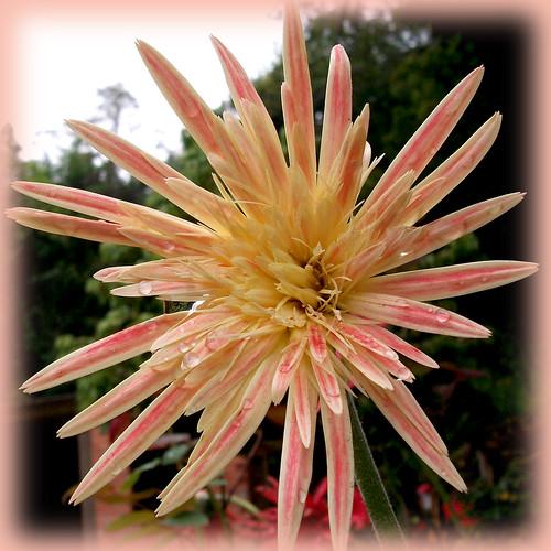 Uma estrela para nossa Quinta flower by coisasdamoise (Alair)