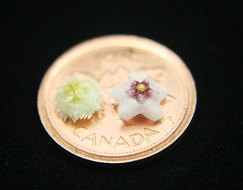 Hoya flower size comparison