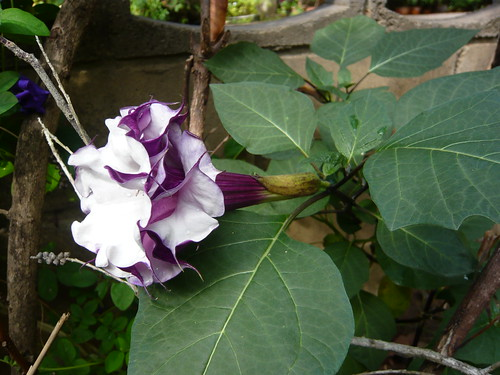 detail of purple datura flower -- double or triple beauty