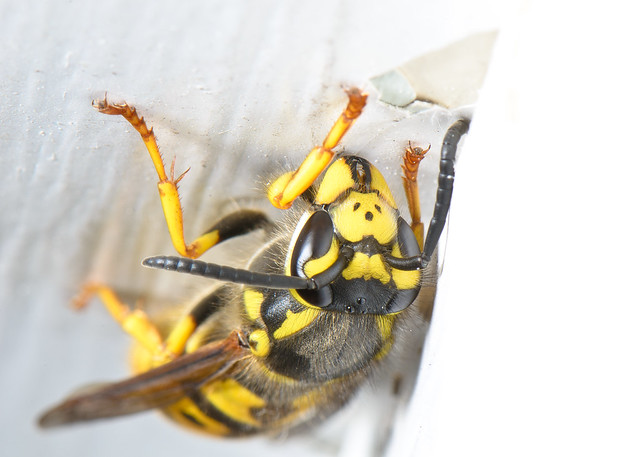 Wasp from Above