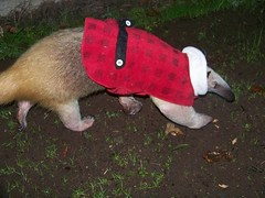 Aurora tamandua in a jacket