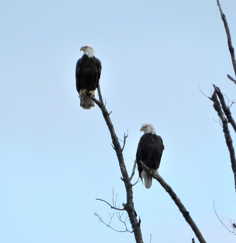 East Fork Bald Eagle pair