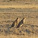 Small photo of Cheetahs Twins (Acinonyx jubatus)