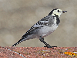 Pied Wagtail, Treen (Norfolk), 2-Oct-11