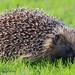Hedgehog @SCC # 2888