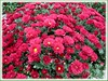 Chrysanthemum hybrid (Mums) with crimson flowers at a garden centre