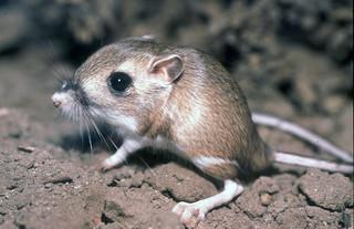 The Cute Desert Kangaroo Rat