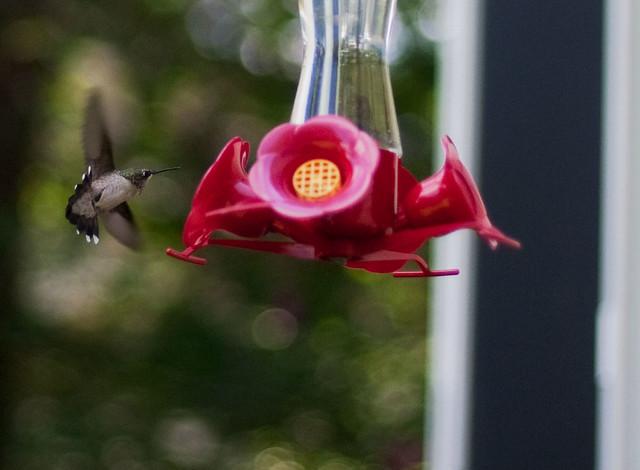 Hummingbird, Elma, NY 2011 07 31 1